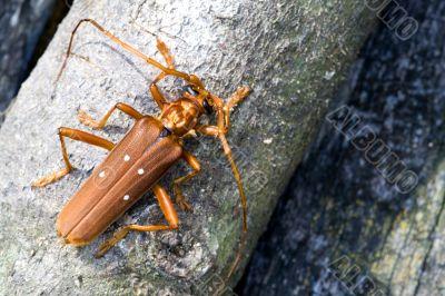 Tropical Rainforest Longhorn Beetle