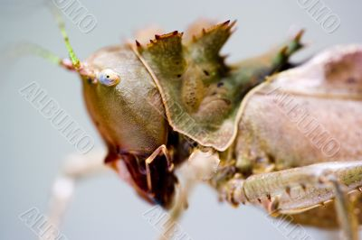 Tropical Rainforest Dragon Grasshopper