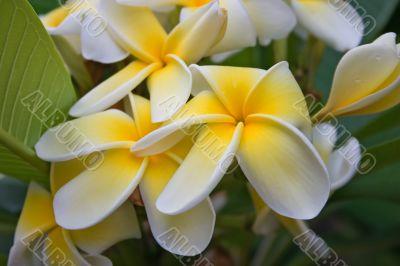 Frangipani yellow white