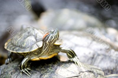 South East Asian Tortoise
