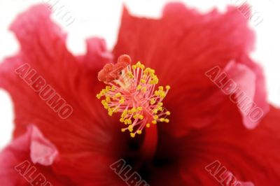 Stamen Of Hibiscus 1