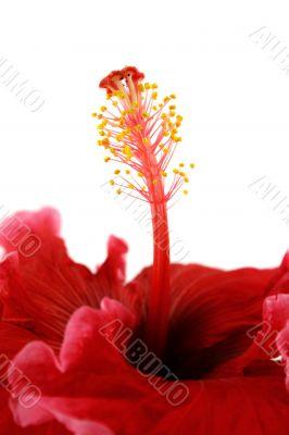 Stamen Of Hibiscus 2