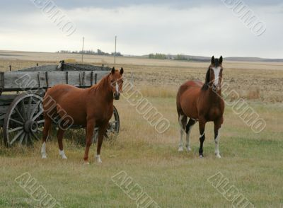 Horses and old  wagon in field