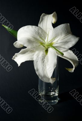 Lily in a glass