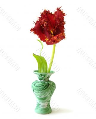 red tulip in a vase over white