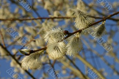 the pussy willow