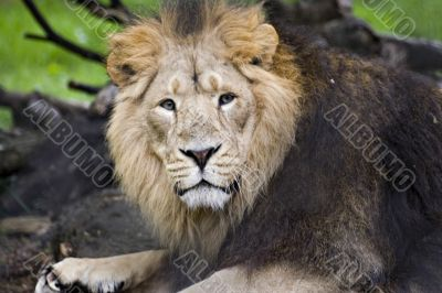 An asiatic lion