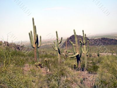 Desert Plants, Brush and Cactus on Watch