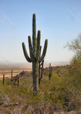 A string of Arizona Saguaro Cactus