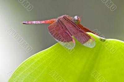 Tropical Rainforest Dragonfly