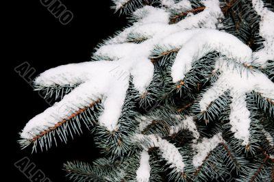 Branch of spruce tree