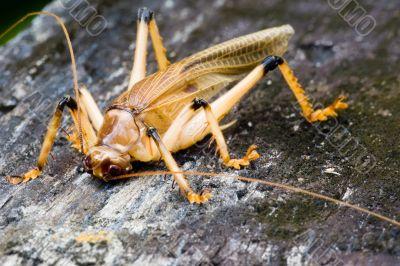 Tropical Rainforest Cricket