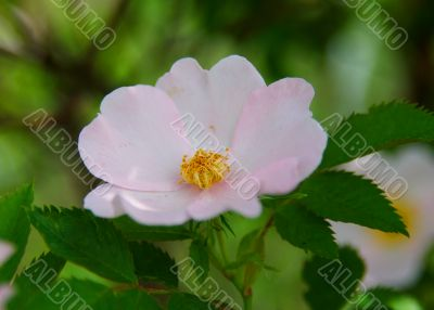 Wild rose flower in close-up