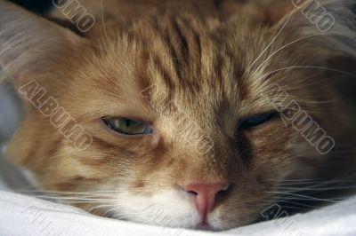 A sleepy ginger kitten cat