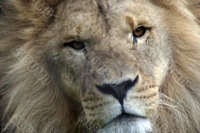 close up frontal shot of a lion