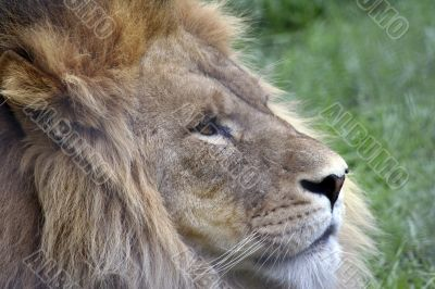 Side profile of a lion