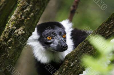 black and white ruffed lemur taken in july 2007