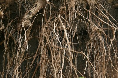 Roots, Volga river bank