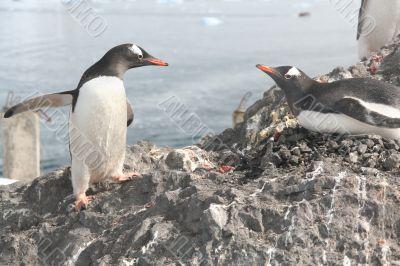 Gentoo penguin, greeting its mate