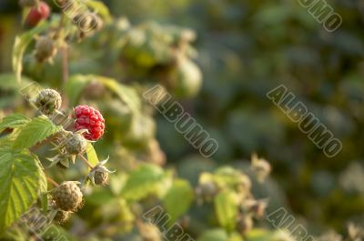 Raspberry bush