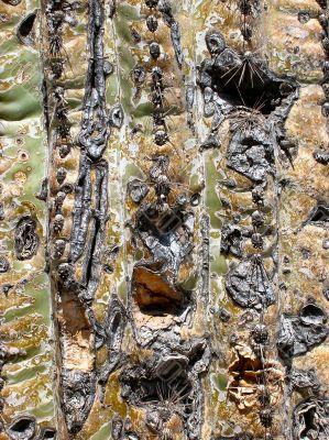 Close-up of Saguaro cactus trunk