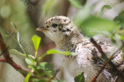 Ptarmigan Chick 3