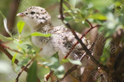Ptarmigan Chick 4