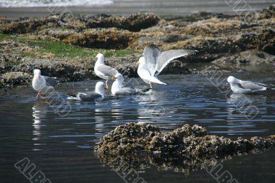 Western gulls in fresh water