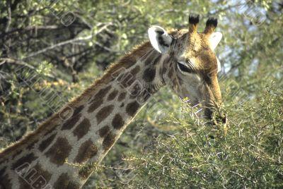 Giraffe head with acacia thorn tree