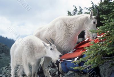 Mountain goats, licking salt from climber`s pack