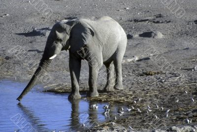 Elephant drinking at water hole