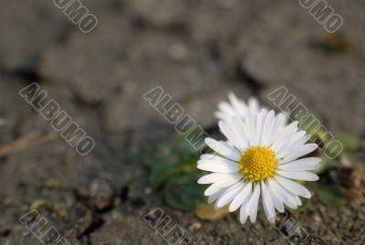 Daisy on the dry ground