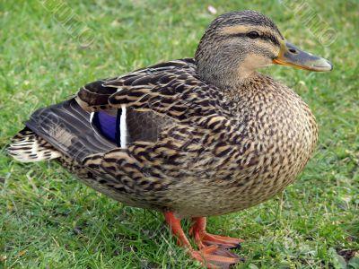 Proud Mallard Duck