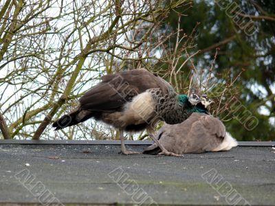 Beauty Peacock