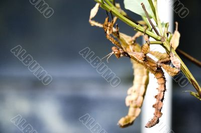 Walking Stick Insects
