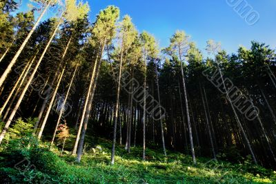 green coniferous wood with foliage