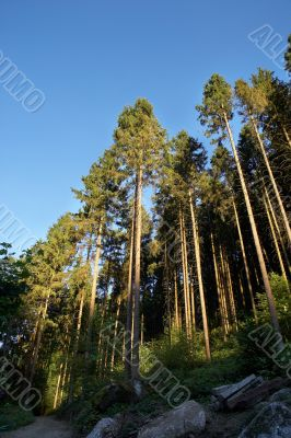 coniferous forest with foliage and blue sky