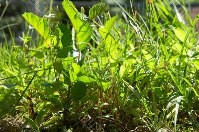 green grass in bright sunlight in summer
