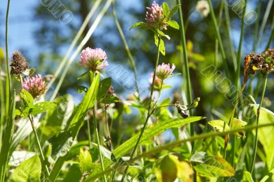 red clover in bright sunlight with blue sky