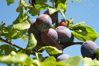 plums on a tree in bright sunlight