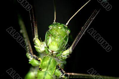 Tropical Rainforest Grasshopper