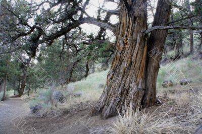 Gnarled cedar trunk
