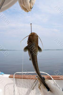 catfish on a hook