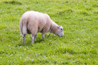 sheep in wild green meadow