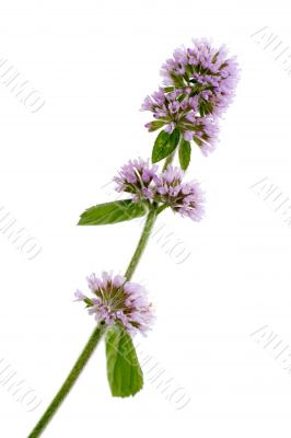 aquatic mint isolated on white