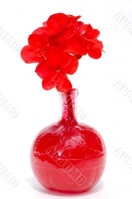 blood geranium