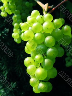 Ripe green bunch of grapes