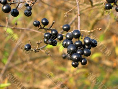 Autumn black berry with a yellow-brown background