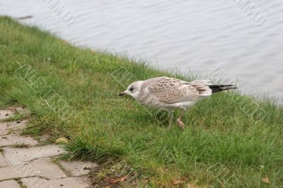 The young seagull