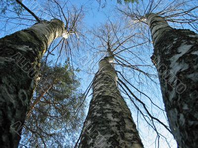 Three birches and pine